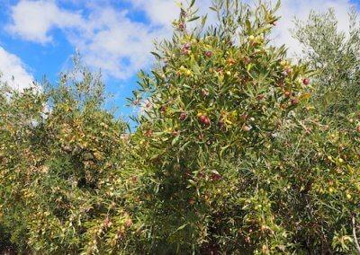 olive tree at Casa Brava